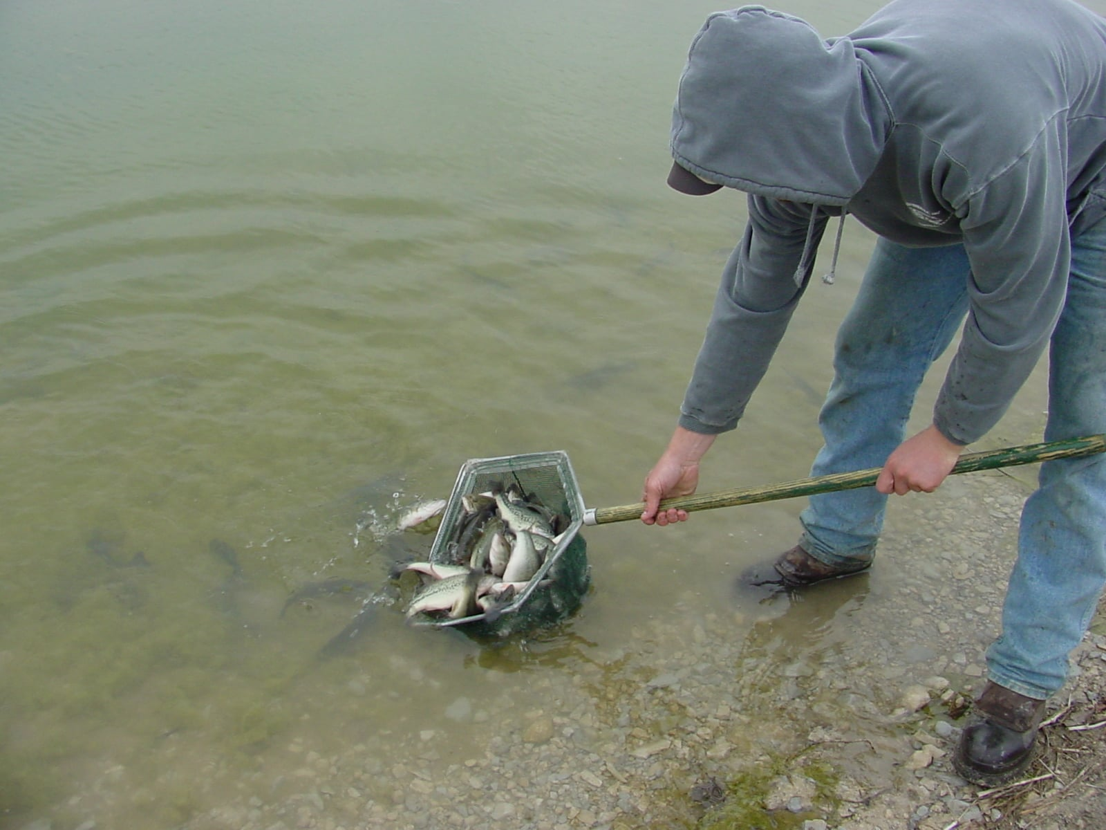 Lake management pond management serving dfw and north texas for Fish stocking texas
