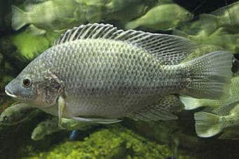 Tilapia Swimming