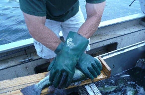 Measuring Largemouth Bass