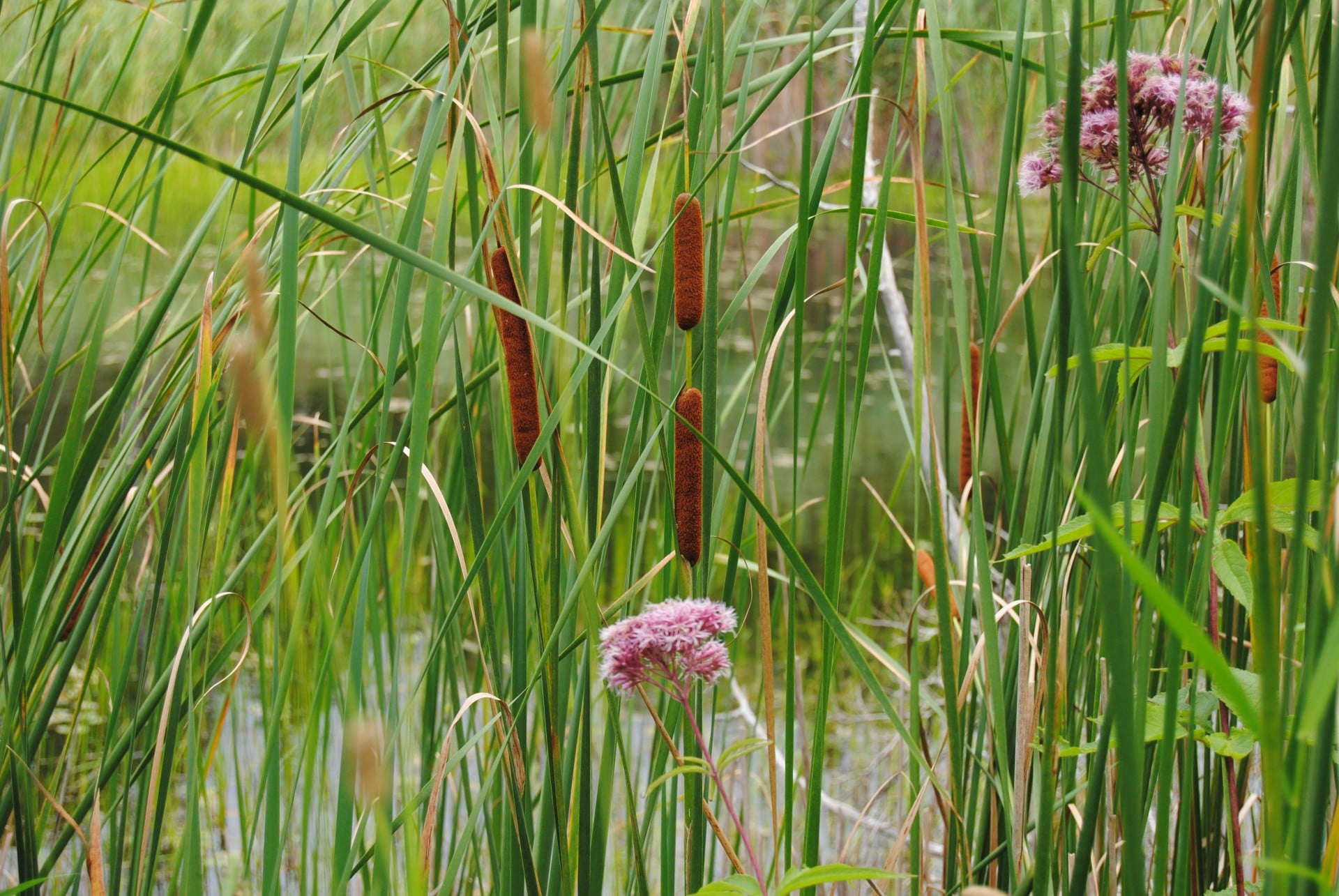 cattails good or bad magnolia fisheries